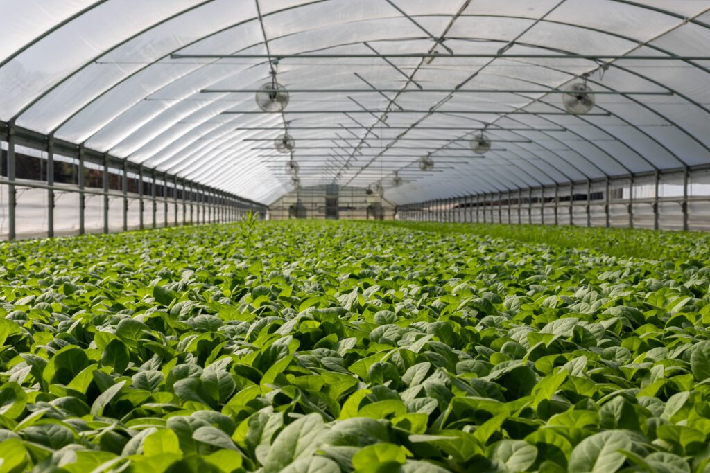 A field of plants in a greenhouse